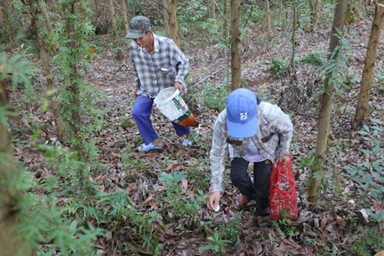 Người dân tìm hái nấm tràm khi đến mùa
