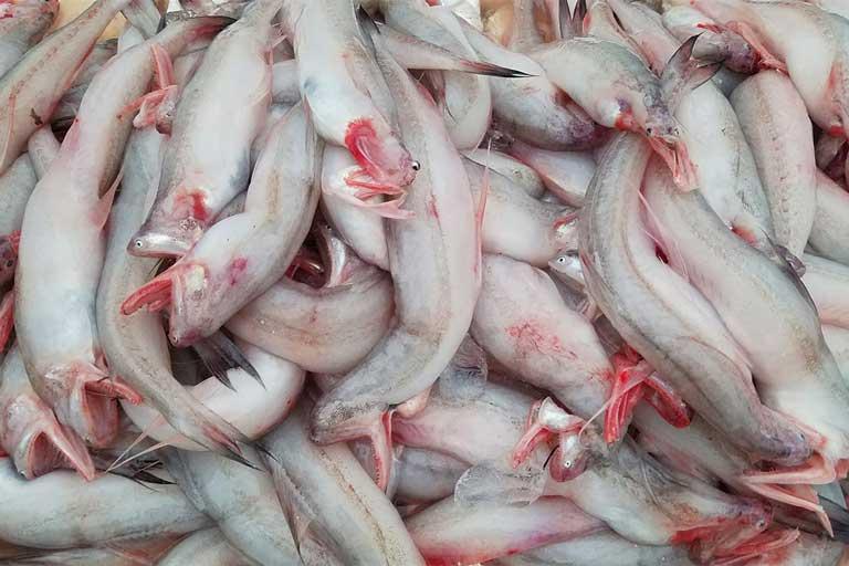 Cá khoai ở một số nơi có tên gọi là cá cháo