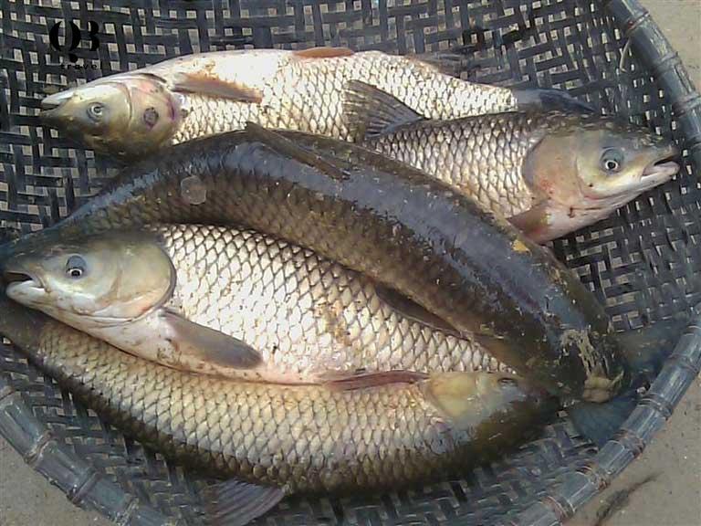 Cá trắm cỏ được nuôi trong lồng