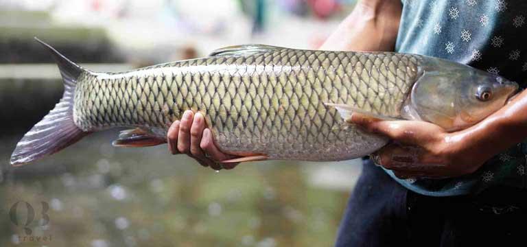 Cá Trắm thương phẩm tại Phong Nha