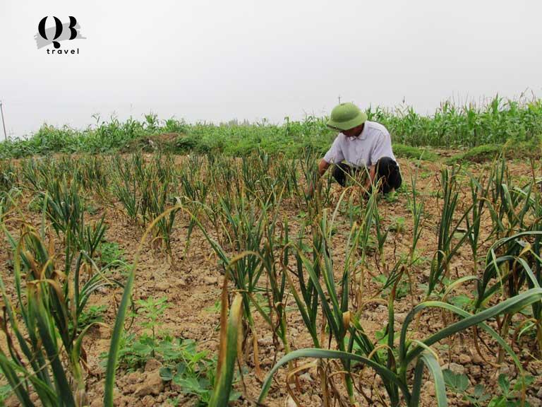 Nghề trồng tỏi ở xã Quảng Minh, Quảng Bình