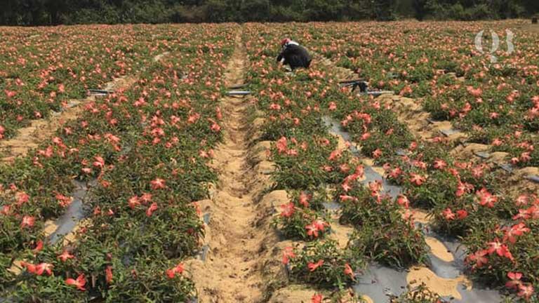 Chuẩn bị đất trồng cho vụ mùa sâm bố chính theo hình nanh sấu