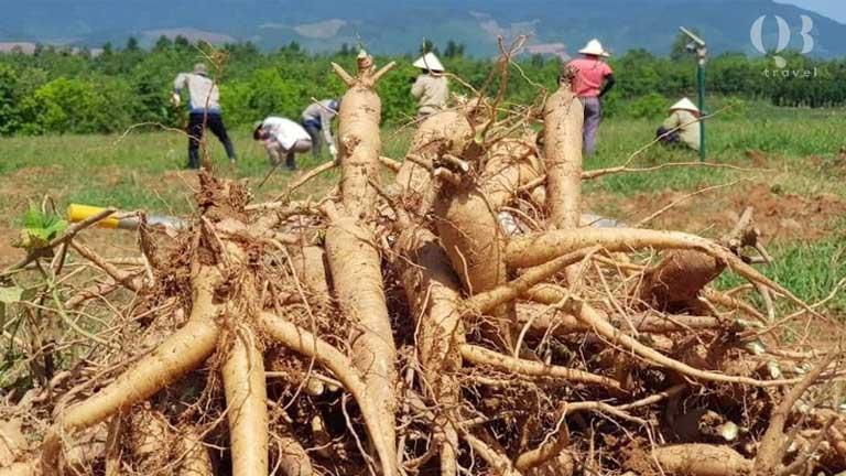 Hình ảnh thu hoạch sâm bố chính tại tỉnh Quảng Bình