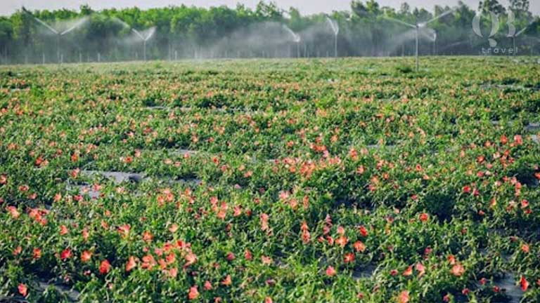 Kỹ thuật trồng cây sâm bố chính tại tỉnh Quảng Bình