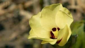 Vẻ đẹp của cây sâm bố chính hoa vàng