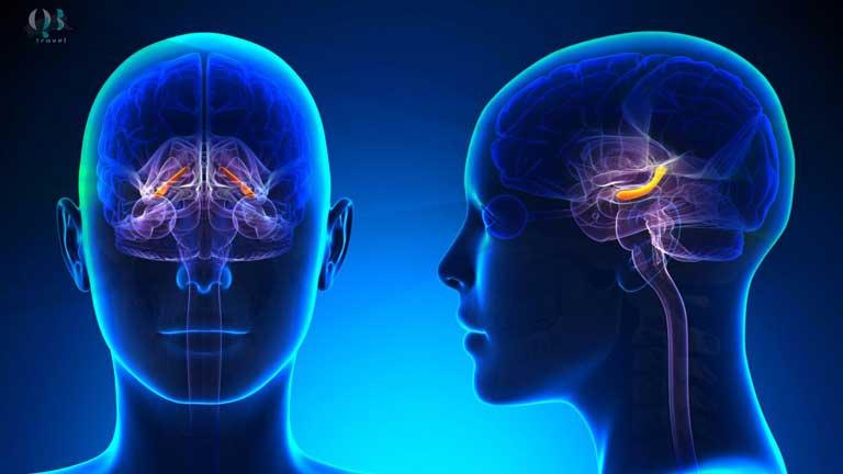 Vùng hippocampus phụ trách ghi nhớ trong não bộ