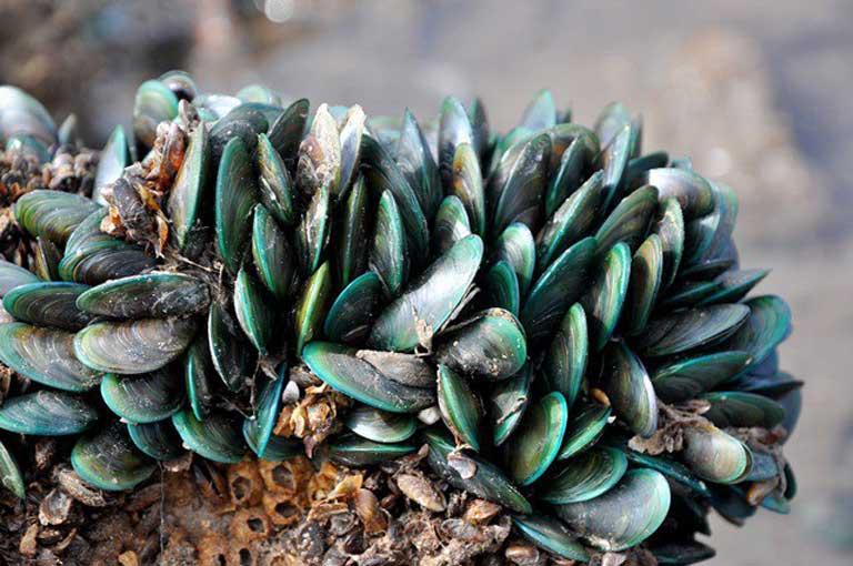 Vẹm xanh bám trên các tảng đá, các rặng san hô