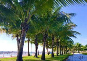 Vườn dừa Đồng Hới trong nắng mai